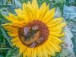 Sonnenblume mit Besucherinnen