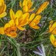Frühlingskrokusse mit Bienli