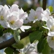 appleblossoms1920
