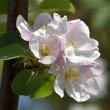 appleblossoms2_1920