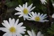 anemonen1920