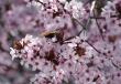 kirschblütenschmetterling1920
