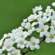 Schneeballblüten