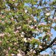 Viele kleine rosa Apfelblüten 2014