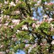 Viele kleine rosa Apfelblüten