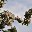 Apfelblüten im April 2014