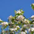 Apfelblüten Ende April 2014 in Oberlauchringen