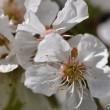 Kirschbaumblüten, ganz nah