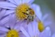 Bienchen an Herbstaster