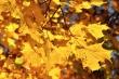 Goldenes Laub im Herbstlicht Nr. 3
