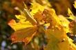 Goldenes Laub im Herbstlicht Nr. 4