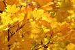 Goldenes Laub im Herbstlicht Nr. 7
