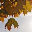 Goldenes Laub im Herbstlicht