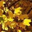 Goldenes Laub im Herbstlicht Nr. 2