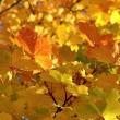 Goldenes Laub im Herbstlicht Nr. 8