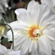 Herbstliche, weiße Blüte