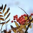 Herbstliche Vogelbeeren