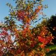 Flammenbeerenbaum