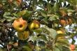 Apfelernte bei Oberlauchringen