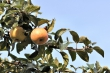 Apfelbaumapfel im September 2012