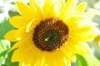 Sonnenblume, highkey