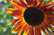 Abendrote Sonnenblume