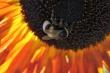 Hummel auf Abendsonnenblume