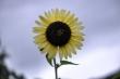 Sonnenblume vor lilablassgrauem Regenhimmel