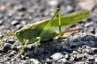 Grüner Grashüpfer