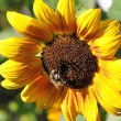 Sonnenblume mit Gast
