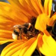 Hummel auf Sonnenblume