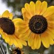 Sonnenblumen im September