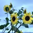 Sonnenblumen in der Dämmerung