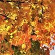 feueriges Herbstlaub