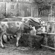 Historische Kühe der Familie Huber in Bierbronnen