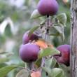 Rotäpfelchen