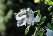 hibiskus10_1920