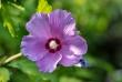 hibiskus6_1920