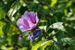 hibiskus7_1920