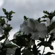 whitehibiscus1920