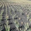 Aloe-Vera-Plantage