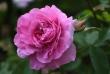 rosarose1920