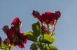 roserosenvorblauemhimmel1920