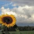 Sonnenblume mit Fernweh