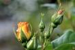 Rosen von Morgen