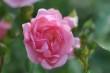 Rosa Röslein Nr. 6