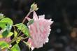 Rosa Rosenblüte Nr. 2