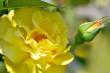 Goldgelbe Rose Nr. 4