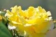 Zitronenrosenblüten