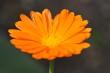 Orange Ringelblume Nr. 2